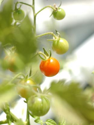 tomatoes_icard.jpg